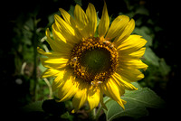 20160710 Sunflowers-80