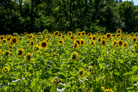 20160710 Sunflowers-56