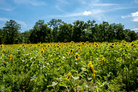 20160710 Sunflowers-15