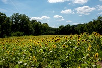 20160710 Sunflowers-4