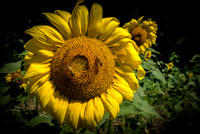 20160710 Sunflowers-68