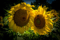 20160710 Sunflowers-49
