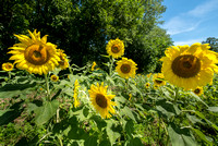 20160710 Sunflowers-41